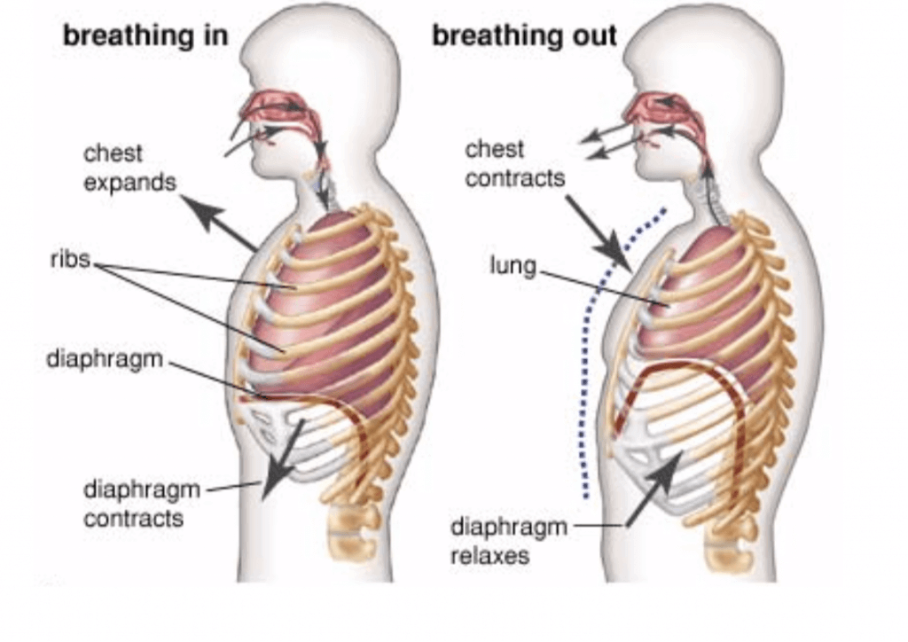 Image showing the contraction and relaxation of the diaphragm